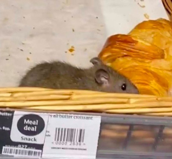 Giant rats filmed crawling across uncovered pastry at Sainsbury's supermarket (video)