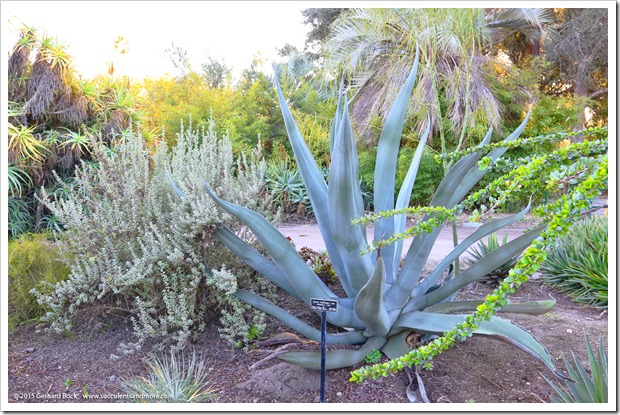 141227_Huntington_0330_Agave-mapisaga-Lisa