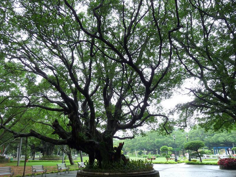 les Ficus ne valent pas grand chose comme bois, donc ils n ont pas été massacrés..