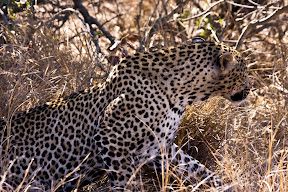 Male Leopard Hunting, South Africa