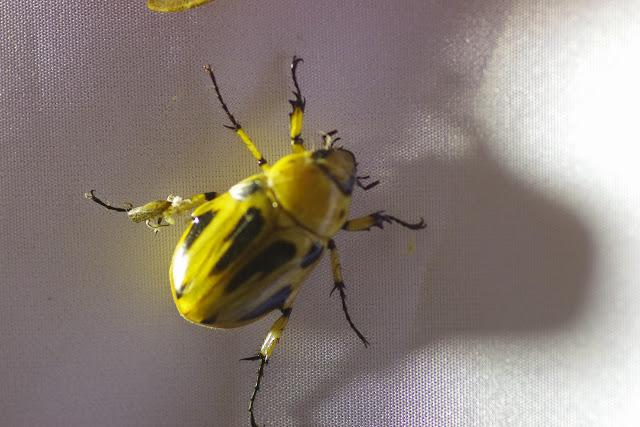 Dynastinae : Ancognatha vulgaris (Arrow, 1911). Mount Totumas, 1900 m (Chiriquí, Panamá), 24 octobre 2014. Photo : J.-M. Gayman