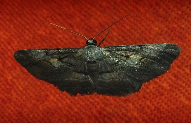 Geometridae : Ennominae : Boarmiini : Boarmia driophila GOLDFINCH, 1944. Umina Beach (N. S. W., Australie), 24 décembre 2011. Photo : Barbara Kedzierski