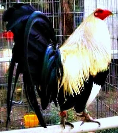 gallos de suaqui grande.jpg