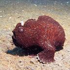Frogfish (Lembeh Strait)