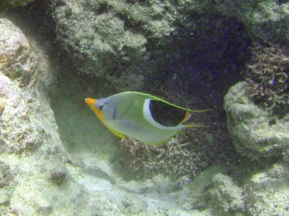 Chaetodon ephippium (Saddleback Butterflyfish), Rarotonga.