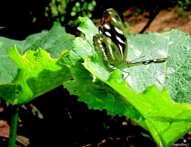 Catonephele acontius acontius (L., 1771), femelle. Colider (Mato Grosso, Brésil), 4 décembre 2011. Photo : Cidinha Rissi