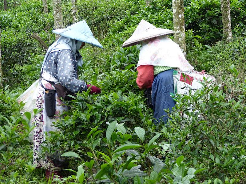 Puli, Nantou county, cueillette de thé - P1050538.JPG