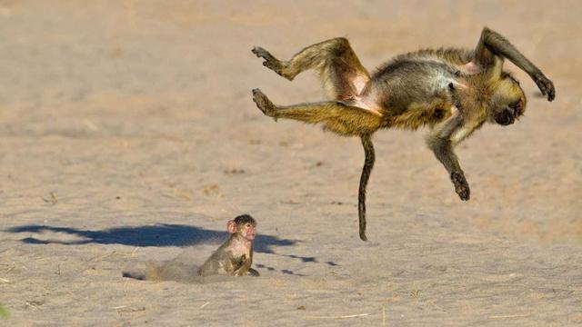 Một chú khỉ đầu chó đang xem chị gái mình diễn trò lộn mèo ở công viên quốc gia Ruaha, Tanzania - Tác giả: Marc Mol.