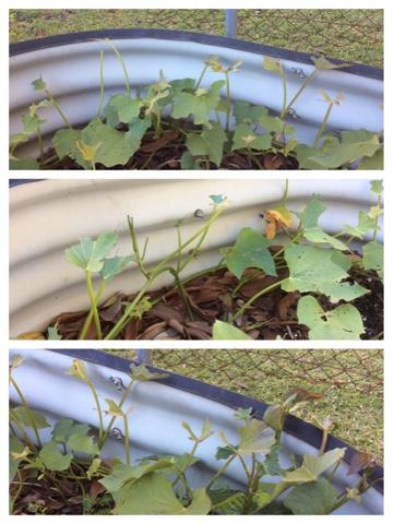 how to stop bush turkeys digging up garden