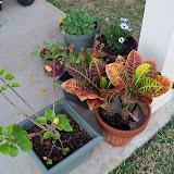 Gardening 2011 - 100_6651.JPG