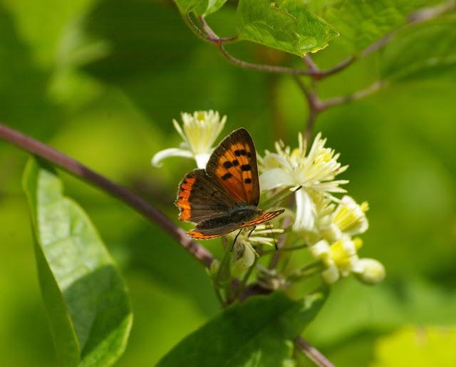 Lycaena phlaeas, LINNAEUS, 1761, mâle. Les Hautes-Lisières, 16 juillet 2009. Photo : J.-M. Gayman