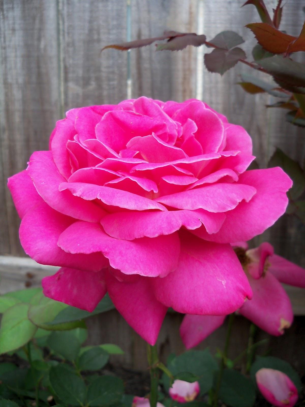 Gardening 2011 - 100_7375.JPG