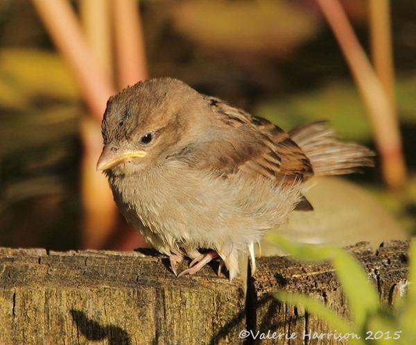 Juv-sparrow