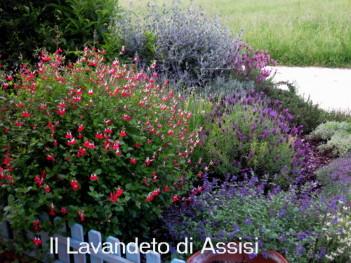 Salvia officinalis e salvie ornamentali coltivazione for Cespugli fioriti per giardino