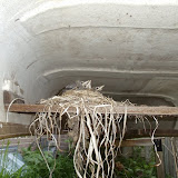 American Robin nest & babies (Murray Lincoln)