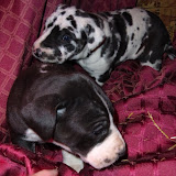 available mantle girl @ 4 weeks w/ Urban's girl