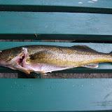 Walleye (Pickeral)