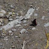 Marpesia zerynthia dentigera (Fruhstorfer, 1907). Cascade entre Cachipay et San Rafael, à l'est de Santa María en Boyacá, 890 m (Boyacá, Colombie), 3 novembre 2015. Photo : J.-M. Gayman