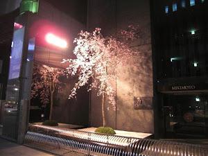 2012年 銀座ミキモトでの桜演出