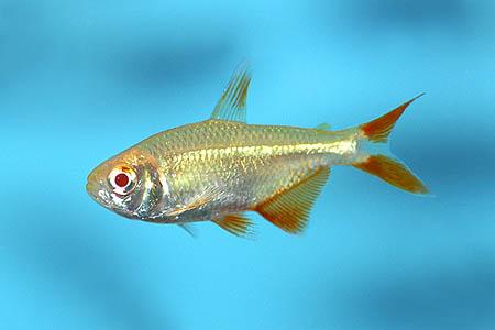 Cá Mắt Ngọc