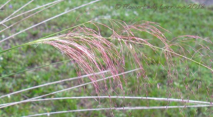 [11-09-pink-muhly-grass2%5B7%5D]
