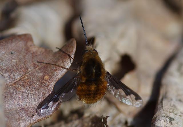 Bombylius major L., 1758 (Diptères, Bombyliinae). Les Hautes-Lisières (Rouvres, 28), 22 mars 2012. Photo : J.-M. Gayman
