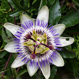 Passiflora caerulea, comúnmente llamada mburucuyá, burucuyá (nombres derivados del guaraní)