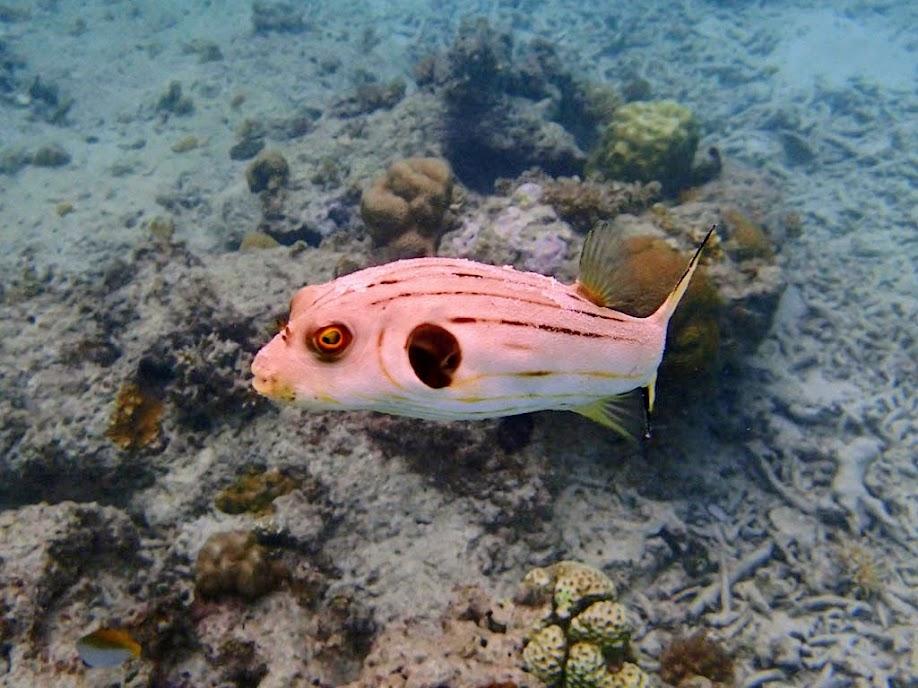 Arothron manilensis (Striped Puffer), Entatula Island Beach Club reef, Palawan, Philippines.