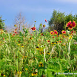 05-26-14 Texas Wildflowers - IMGP1398.JPG
