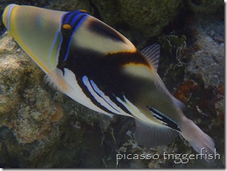 picasso or whitebanded triggerfish - Tahaa