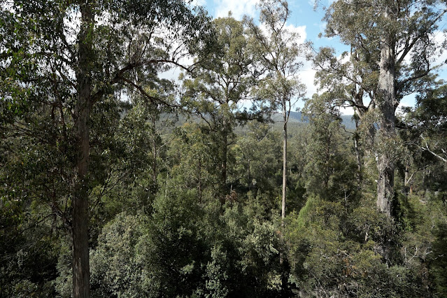 Tall trees viewed from the Tahune Forest Air Walk