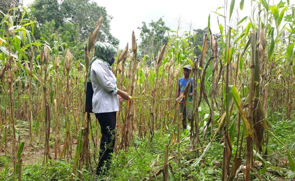 Panen Jagung di Sinjai Sebagai Bukti Petani Bergerak Penuhi Stok Pangan