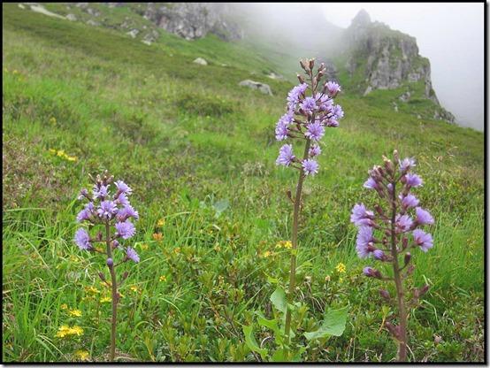 2222-Alpine-Sow-Thistle-Cicerbita-alpina