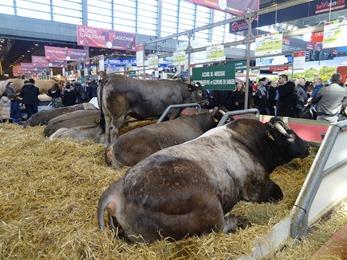 2018.02.25-044 vaches bazadaises