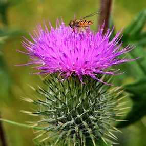 Uggly beauty - Scotch Thistle by Peter Keast - Flowers Flowers in the Wild ( nature, bee, pest, weed, insect,  )