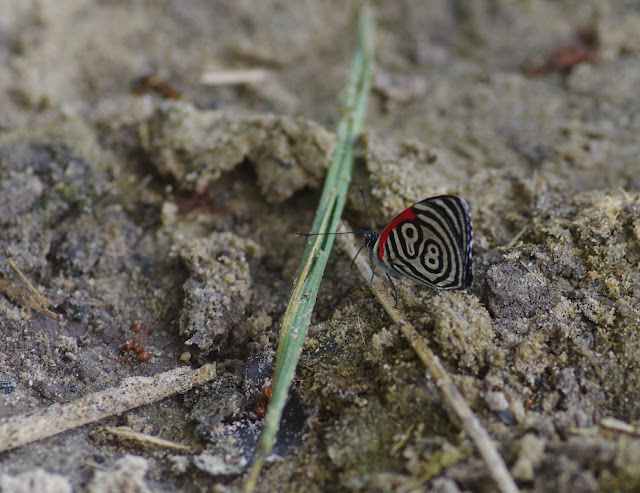 Diaethria clymena colombiana (Viette, 1958). Cupiagua, 720 m (Casanare, Colombie), 5 novembre 2015. Photo : J.-M. Gayman