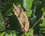 """Iguana of Costa Rica"" by Jeanne Phelps -- 2nd Place Digital Special A"