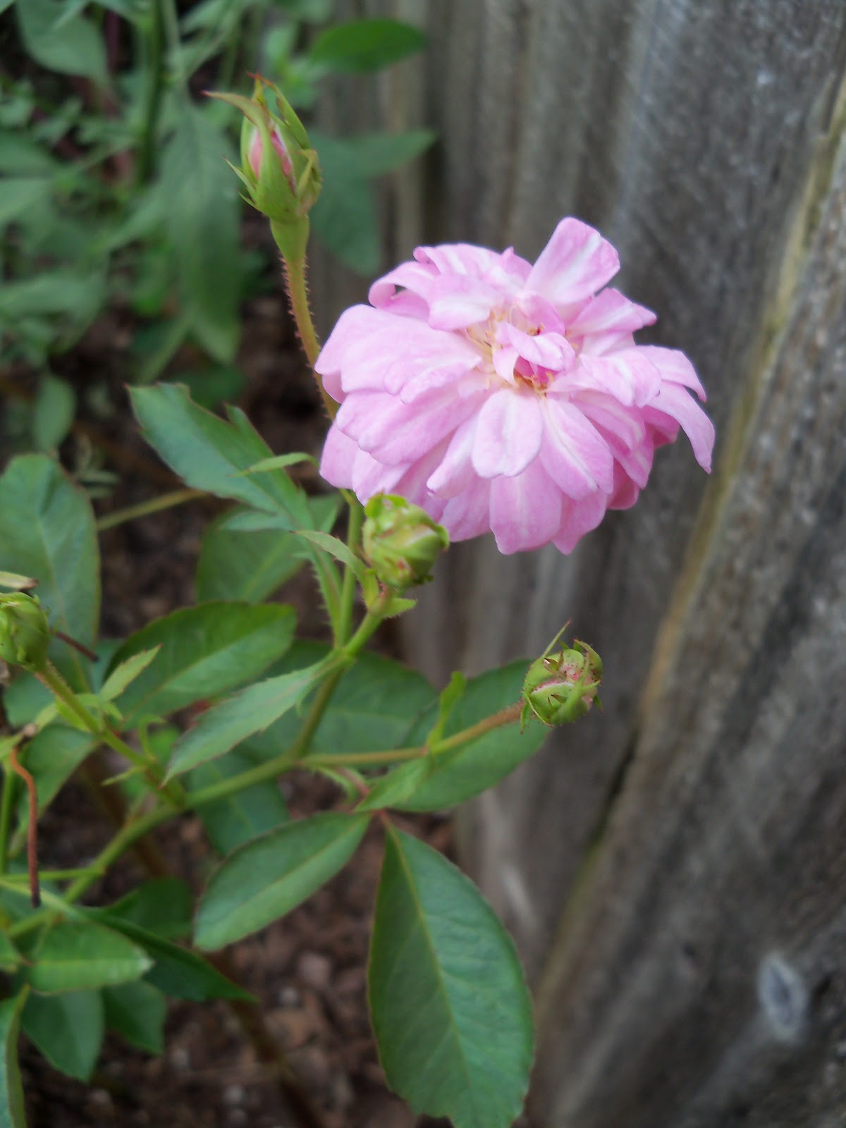 Gardening 2010, Part Three - 101_4992.JPG