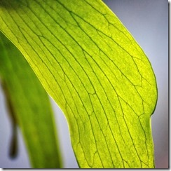 Detail of stag horn fern leaf II