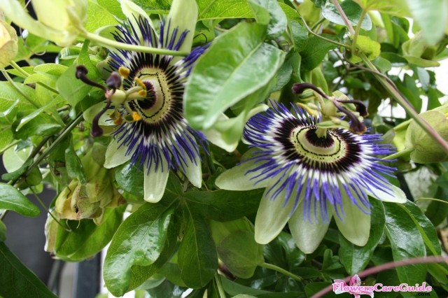 Caring Passion Flower Vine in Winter