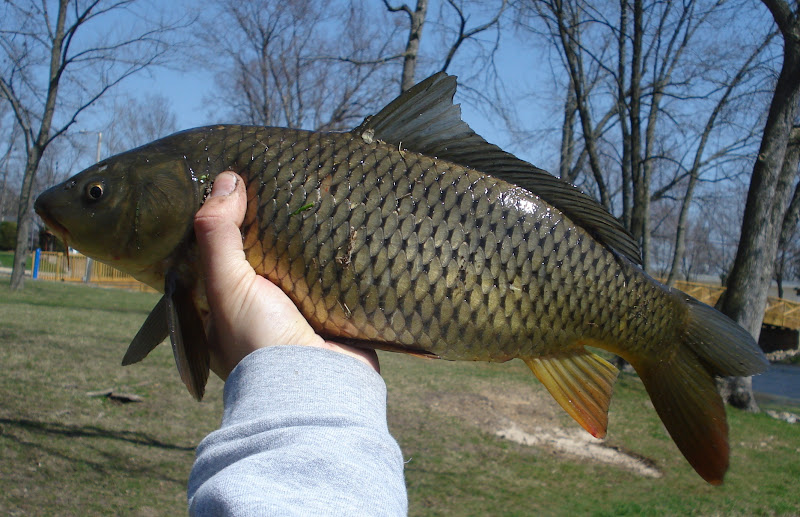 What are your thoughts on common carp in america for Can you eat carp fish