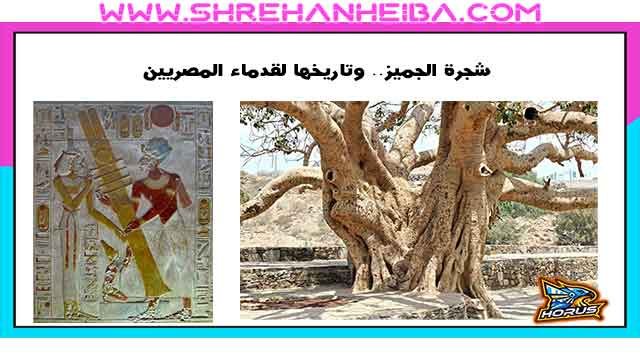 شجرة الجميز.. وتاريخها لقدماء المصريين و فوائدها