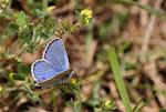 Hvidrandet blåfugl, han - dorylas6.jpg