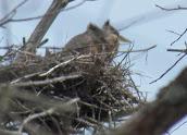 Heron Colony at Libby Hill-015.JPG