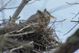 Heron Colony at Libby Hill-015.JPG