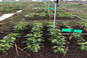 Kerjasama Litbang Kementan, Dosen Pertanian UMI Makassar Teliti Metode Meningkatkan Produksi Tanaman Kedelai