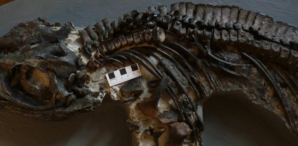 Vert. Column showing odd Neural spine taphonomy
