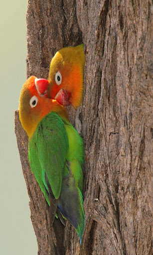 Images love birds kissing