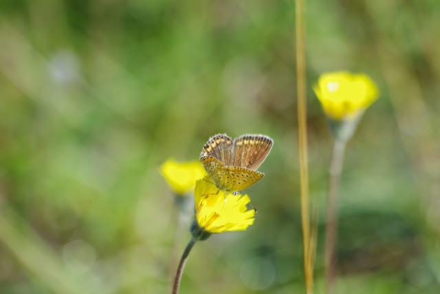 Polyommatus icarus icarus (ROTTEMBURG, 1775), femelle. Tras le Mont (800 m), Cocurès (Lozère, France), 8 août 2014. Photo : J.-M. Gayman