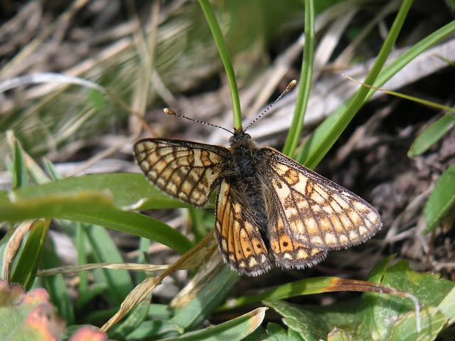 Euphydryas asiatica alexandrina STAUDINGER, 1881. Vallon de Gelley-Karagaï (vallée de Ak-Suu, au Nord de Semienovka), Kungey Ala Too, Kirghizstan, 5 juillet 2006. Photo : F. Michel